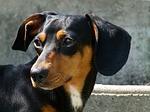 fox-hound-55141_150[1]